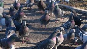Tauben im Park Geflügelfütterung stock footage
