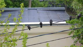 Tauben im Regen stock footage