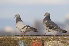 Tauben im Spiel lizenzfreies stockbild