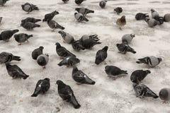 Tauben im Winter Stockbild