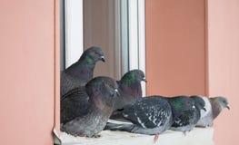 Tauben im Winter auf dem Fensterbrett Stockfotografie