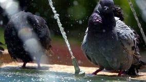 Tauben nahe dem Brunnen-Wasser stock footage