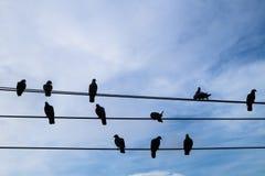 Tauben oder Tauben beschatten Stellung auf der elektrischen Leitung mit blauem Himmel Stockbild
