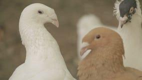 Tauben schließen herauf Weiß und Braun stock video footage