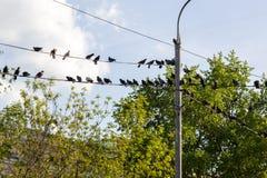 Tauben sitzen auf Drähten auf Hintergrund von Bäumen Stockbild