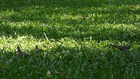 Tauben am Stadtpark stock footage