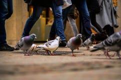 Tauben und Menschen an der Hauptverkehrszeit in der Stadt Stockbild