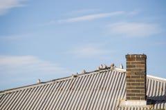 Tauben-Vögel auf einem Dach Stockfoto