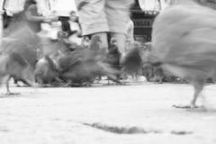 Tauben in Venedig Stockbild