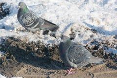Tauben werden im Winter erhitzt Vögel wärmen sich im Winter Viele Tauben sitzen im Winter und aalen sich Stockbild