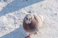 Tauben werden im Winter erhitzt Vögel wärmen sich im Winter Viele Tauben sitzen im Winter und aalen sich Lizenzfreies Stockbild
