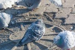 Tauben werden im Winter erhitzt Vögel wärmen sich im Winter Viele Tauben sitzen im Winter und aalen sich Stockbilder