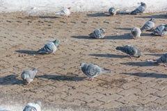 Tauben werden im Winter erhitzt Vögel wärmen sich im Winter Viele Tauben sitzen im Winter und aalen sich Stockfotografie