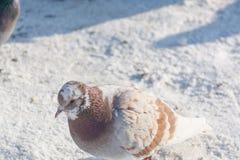 Tauben werden im Winter erhitzt Vögel wärmen sich im Winter Viele Tauben sitzen im Winter und aalen sich Lizenzfreies Stockfoto