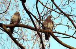 Tauben, zwei Tauben, die auf einer Niederlassung stillstehen lizenzfreies stockbild