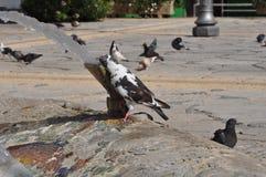 Tauben in Zypern Lizenzfreie Stockfotografie