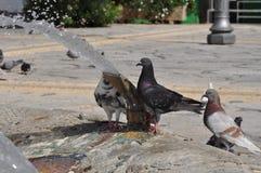 Tauben in Zypern Stockfotografie