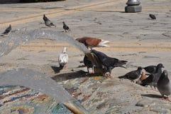 Tauben in Zypern Stockfotos