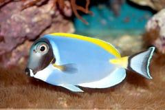 Taubenblaue tropische Fische Tangs (Acanthurus leucosternon) Stockfotos