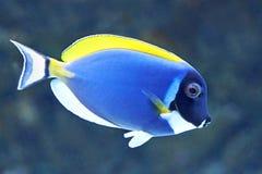 Taubenblauer Surgeonfish (Acanthurus leucosternon) Lizenzfreie Stockbilder