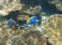 Taubenblaues Geruch Acanthurus leucosternon über einem Korallenriff, der Indische Ozean Stockfotografie
