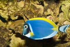 Taubenblaues Tang im Aquarium Stockbild