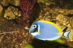 Taubenblaues Tang im Aquarium Stockbilder