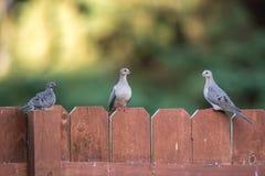 Taubenfamilie Lizenzfreie Stockbilder