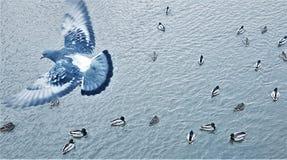 Taubenfliegen über Wasser und sich hin- und herbewegender Draufsicht der Enten lizenzfreies stockfoto
