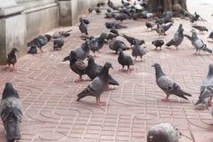 Taubenfliegen Stockbilder