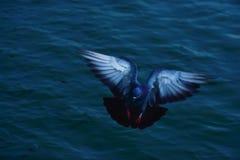 Taubenfliegen Lizenzfreie Stockbilder