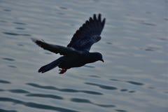 Taubenfliegen Lizenzfreie Stockfotos