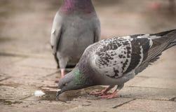 Taubengetränke von einer Pfütze des Wassers in der Straße stockfoto