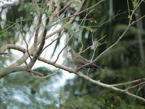 Taubenrest auf Baum stockbild