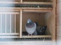 Taubenschlag mit 3 Tauben Stockbild