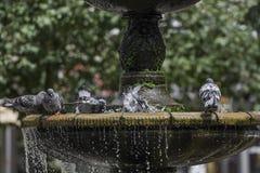 Taubenstand auf dem Brunnen Stockfoto