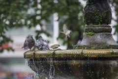 Taubenstand auf dem Brunnen Stockfotografie
