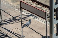 Taubenstellung auf einem Kabel mit einem weißen leeren Zeichen lizenzfreie stockfotos