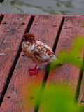 Taubenvögel Stockbild