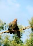 Taubenvogel Stockfotografie