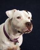 Taubes und blindes weißes Pitbull, das in einem Porträtkopfschuß lächelt Stockbild