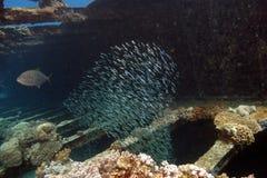 Tauchen im Roten Meer Lizenzfreies Stockfoto
