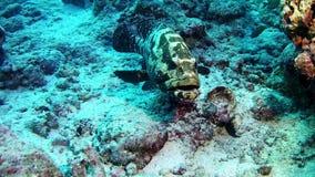 Tauchen Malediven - Barschfische stock footage