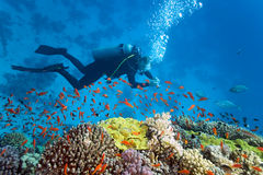 Taucher auf dem Korallenriff Stockbild