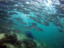 Taucher, der eine große Masse von Fischen gegenüberstellt Lizenzfreie Stockfotos