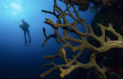 Taucher mit bunten Korallen Stockfoto