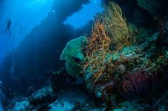 Taucher, Seefächer Melithaea und Meer peitschen Ellisella-grandis in Banda, Indonesien-Unterwasserfoto Stockfotografie