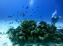 Taucher Swims Past Coral und Fischschwarm lizenzfreie stockbilder