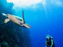 Taucher trifft Schildkröte Stockfotografie