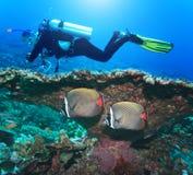 Taucher und Angelfishes stockbilder